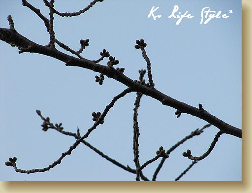 桜の蕾は・・・