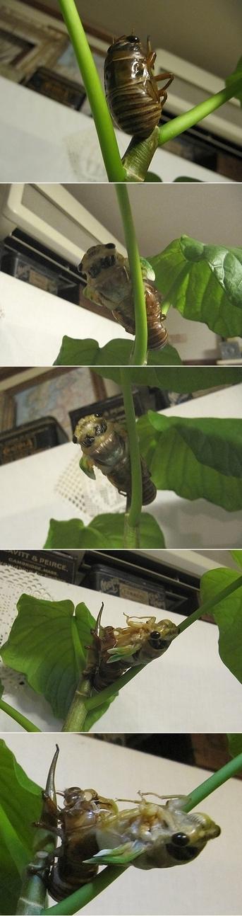 蝉の孵化の様子1