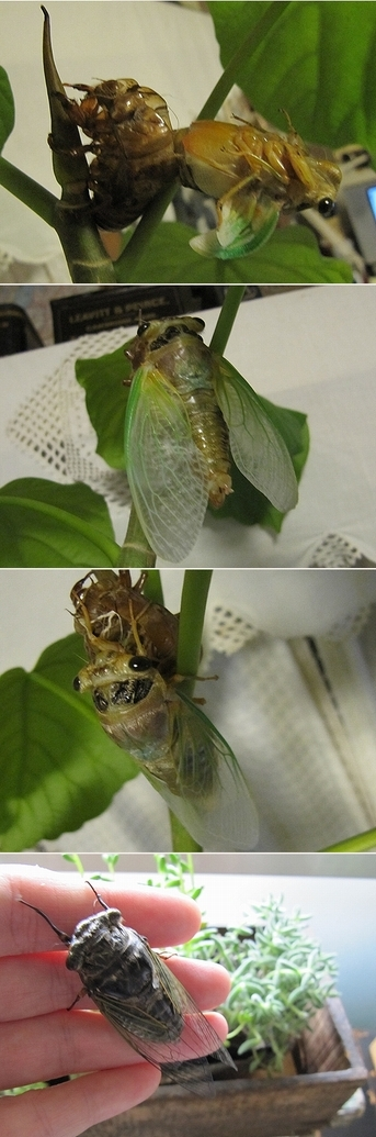 蝉の孵化の様子2