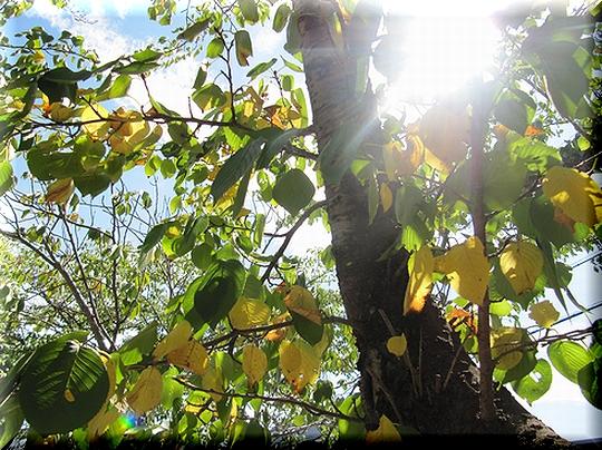 桜の木も.jpg