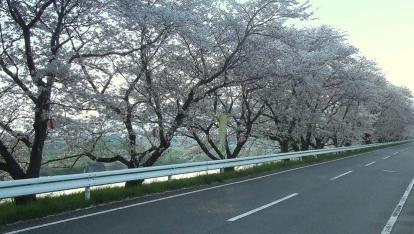 2010.4.6 ジテツウ 桜道-1_R