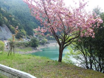 猿谷貯水池-山桜_R