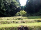 田んぼの中の一本の木_R