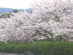 02s_10sakura2_convert_20100331104340.jpg