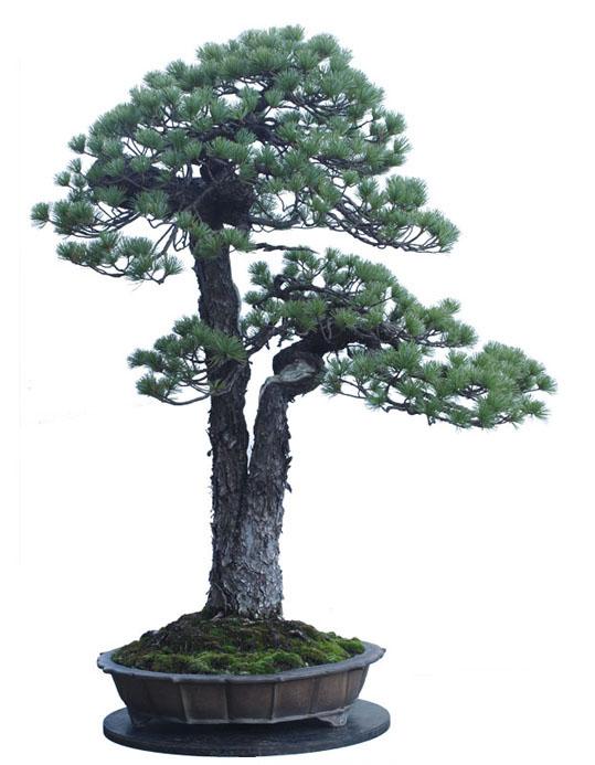 糸崎公朗盆栽白抜きブログ