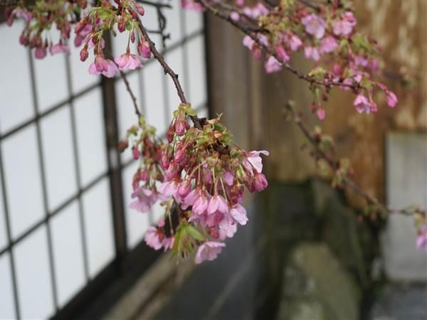 20130220sakura.jpg