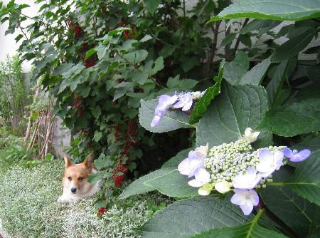 手前紫陽花