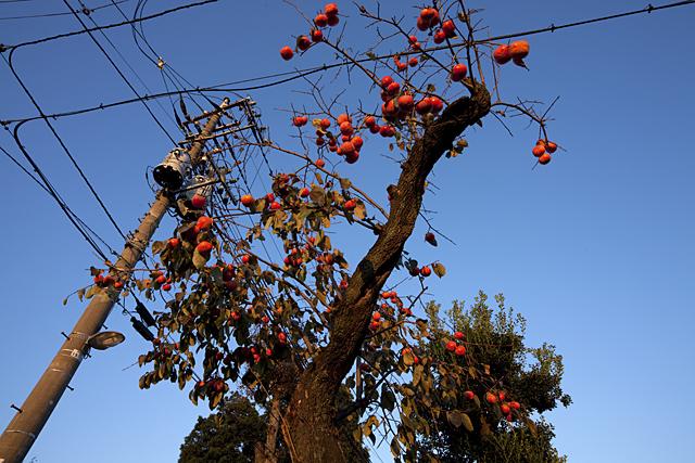 091121_012_柿の木