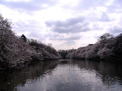桜@井の頭公園