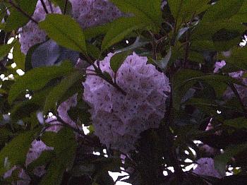 紫陽花・・・?
