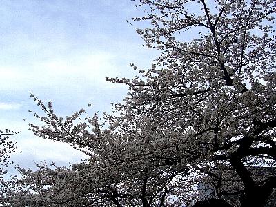 SAKURA_20100401232109.jpg