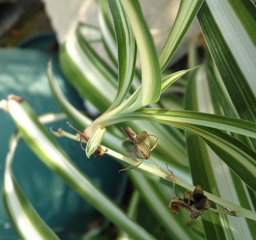 オリヅルランの種
