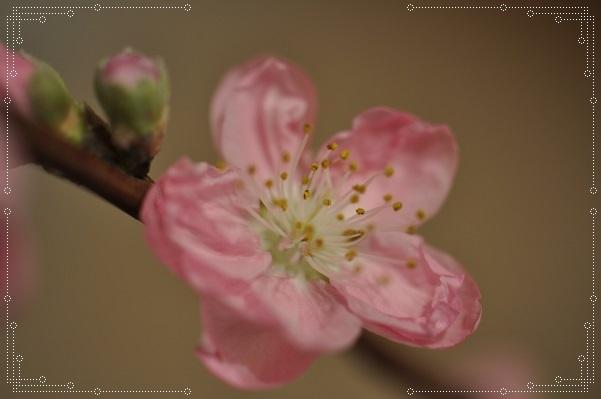 切り花・桃