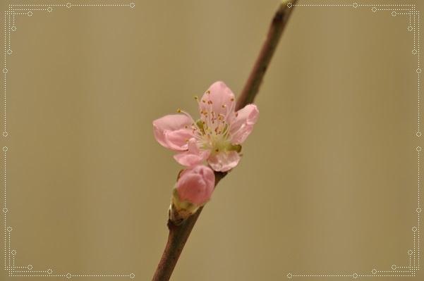 切り花・桃 (2)