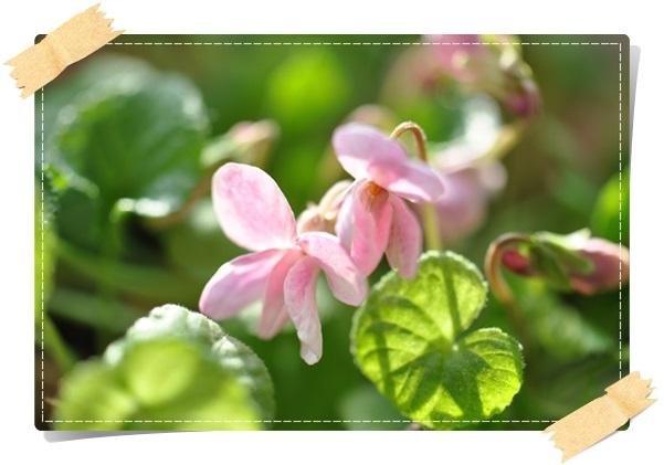 宿根ビオラ(3月2日開花)