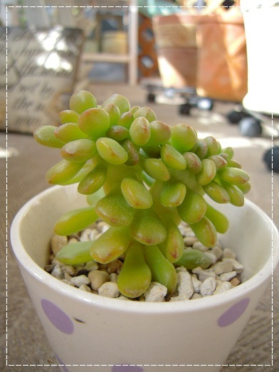 丸葉松の緑 綴化 (2)
