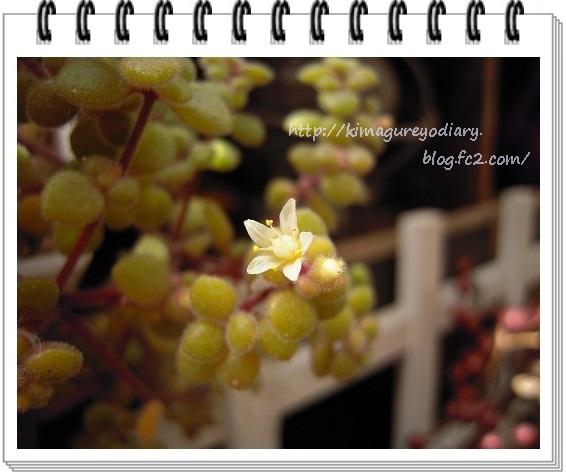 ブロウメアナ開花・2013 (2)