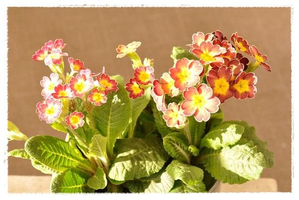 プリムラ『春色クラシカル』 (2)