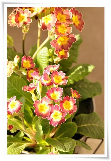 プリムラ『春色クラシカル』 (3)