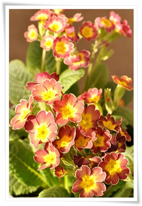 プリムラ『春色クラシカル』 (4)