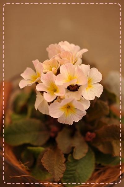 銅葉プリムラ・3月