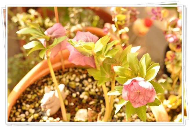 クリスマスローズ(ダブル咲き)開花 2013・3月15日 (3)