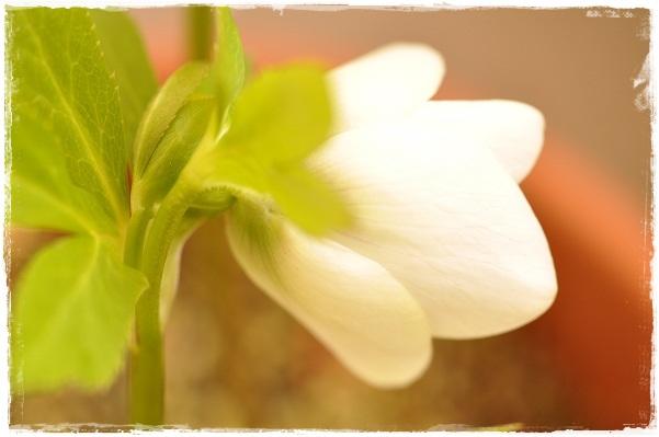 クリスマスローズ・ホワイトフラッシュ系(シングル咲き)開花 2013・3月5日 (4)