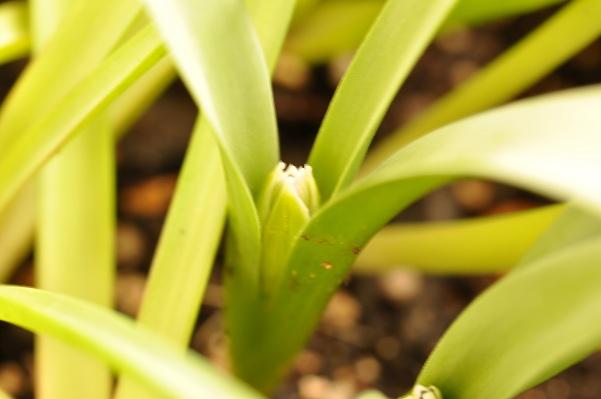 原種チューリップ蕾(アルバ セルレアオクラータ)2013・3月19日