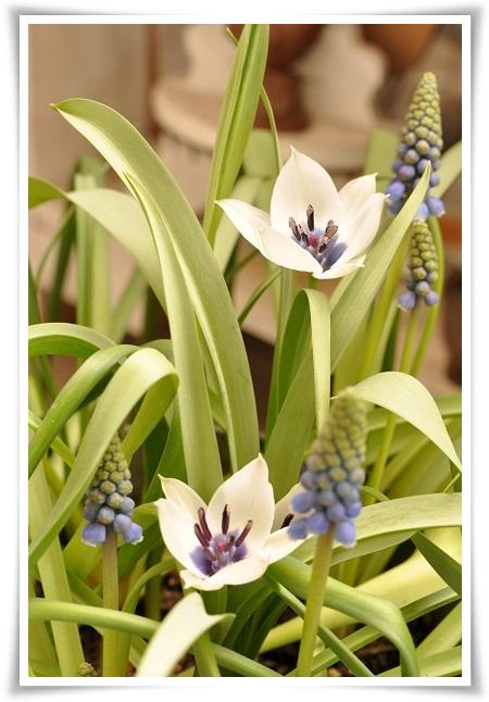 原種チューリップ開花(アルバ セルレアオクラー)2013・3月24日 (3)