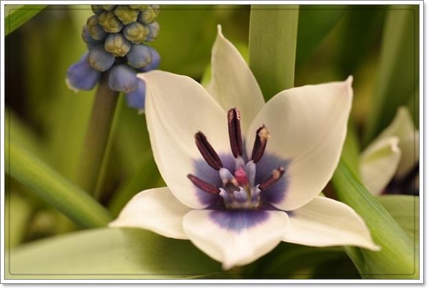 原種チューリップ開花(アルバ セルレアオクラー)2013・3月24日 (2)