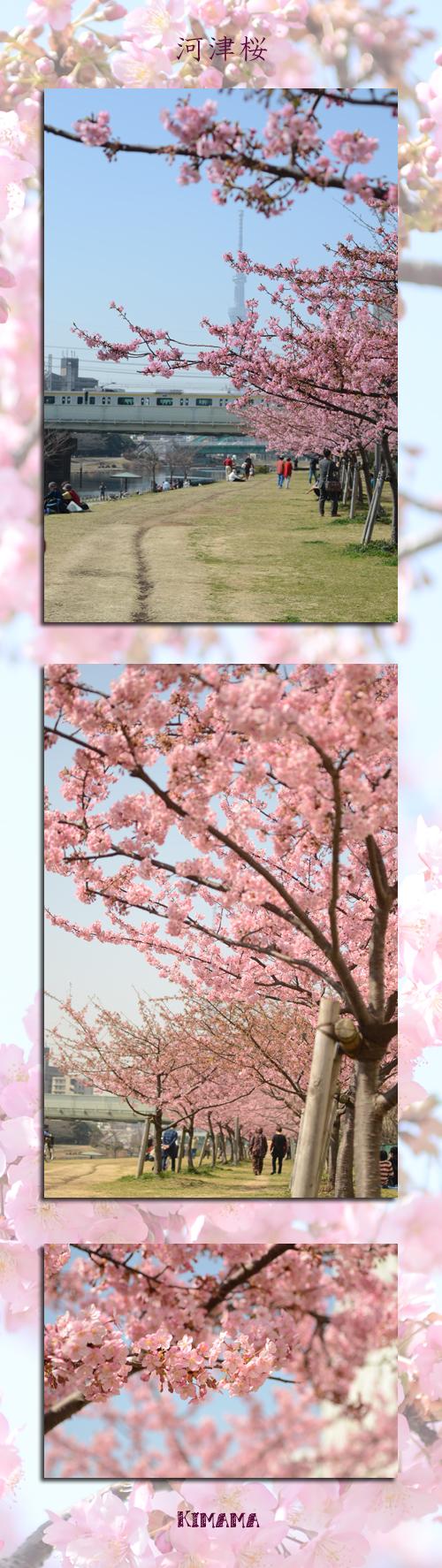 3月10日河津桜1