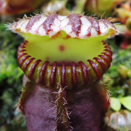 食虫植物2_convert_20130311215702