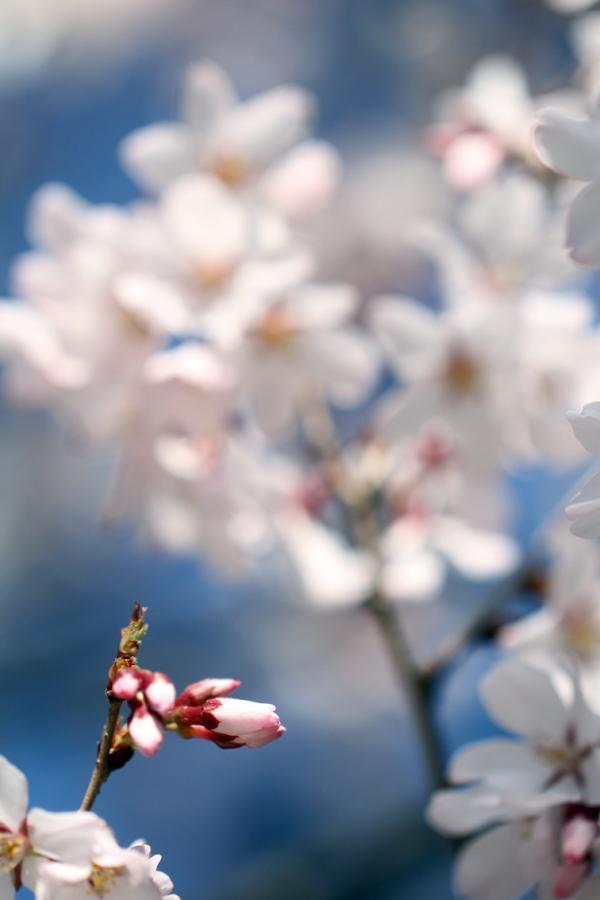 桜130317a_convert_20130317134103