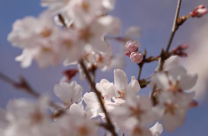 桜130317b_convert_20130317134141
