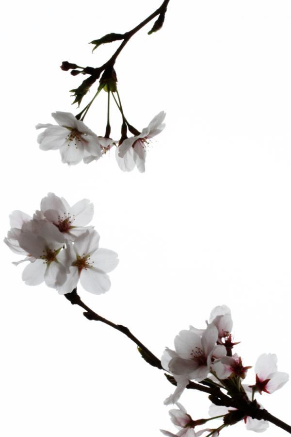 桜130224d_convert_20130324202623