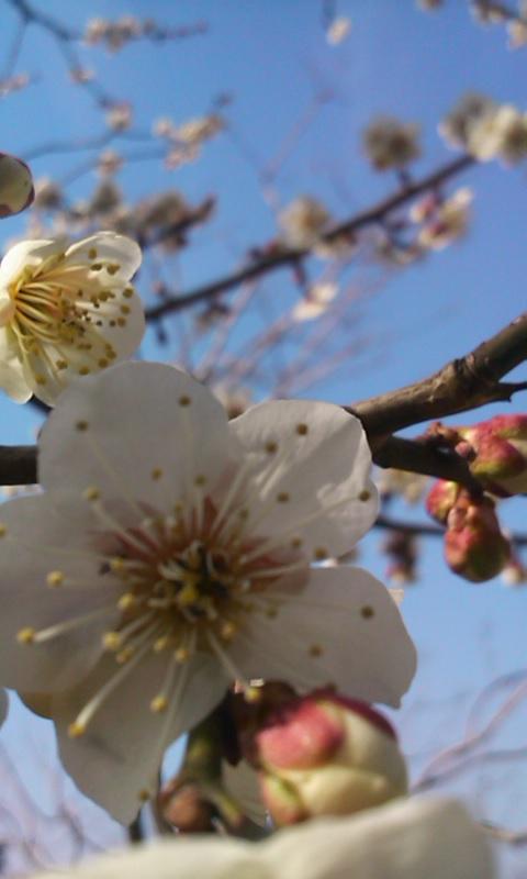 0320桜