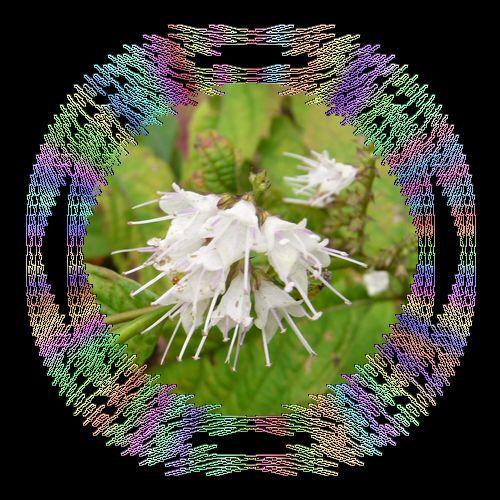 シモバシラお花