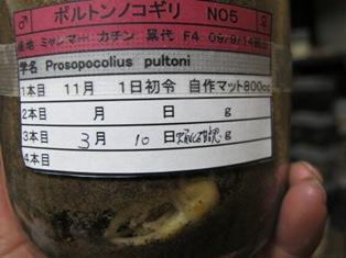 ポルトン♂蛹