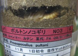 ポルトン♀蛹