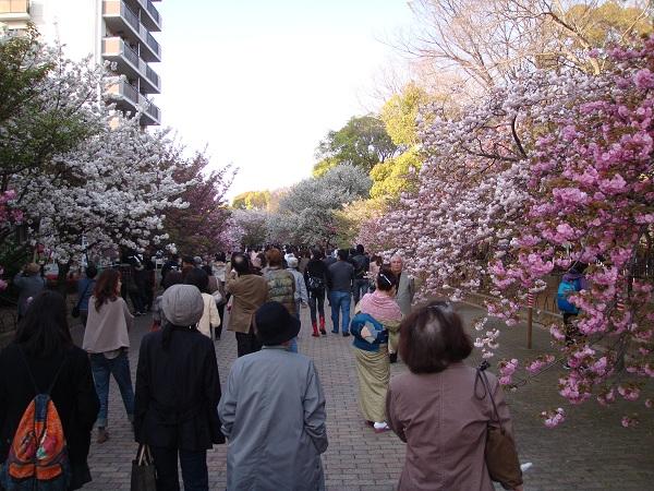 色とりどりの桜。
