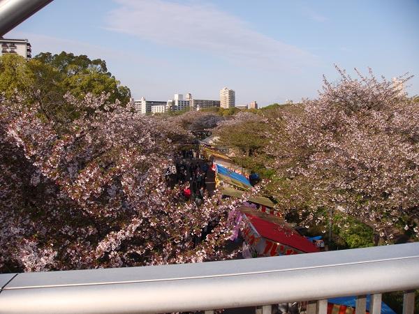 桜が、、散ってる?