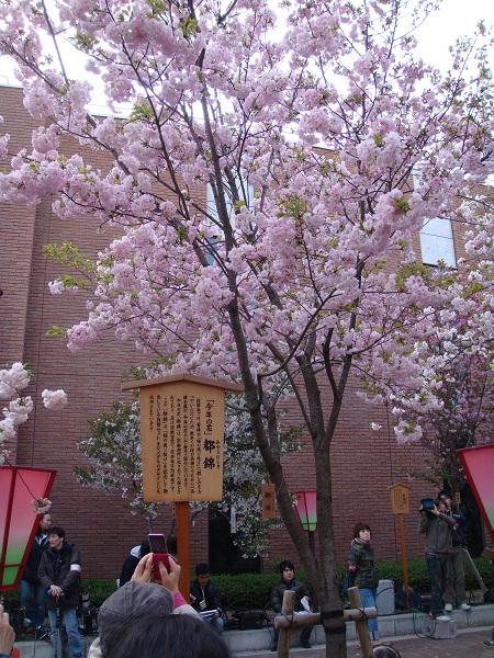 今年の桜 都錦
