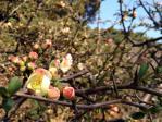 新宿御苑の木瓜