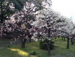 浜離宮恩賜庭園の梅林