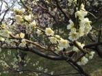 浜離宮恩師庭園の梅