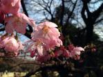 新宿御苑の陽光(桜)