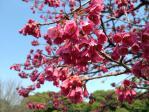皇居東御苑の寒緋桜