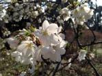 皇居東御苑の天城吉野(桜)