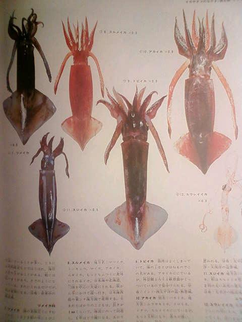 squid_f.jpg