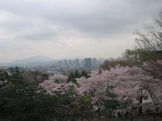 韓国ソウル桜